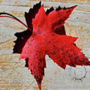 Red Maple Leaf Art Print