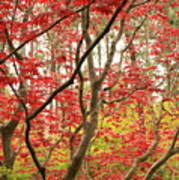 Red Maple Leaves And Branches Art Print