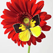 Red Mum With Dogface Butterfly Print by Garry Gay