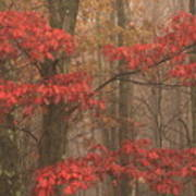 Red Oak In Fog Art Print