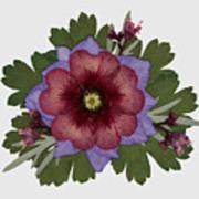 Red Open Faced Potentilla Pressed Flower Arrangement Art Print