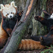 Red Panda Cubs At Play Art Print