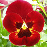 Red Pansy Art Print