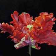 Red Parrot Tulip - Oils Art Print