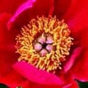 Red Pink Flower Center.  Close-up Center Art Print