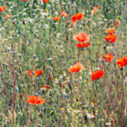 Red Poppies In A Summer Sun Art Print