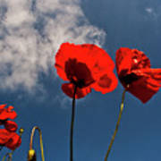 Red Poppies On Blue Sky Art Print