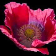Red Poppy On Blk Velvet Art Print