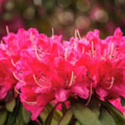 Red Rhododendron Flowers At Floriade, Canberra, Australia. Art Print