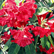 Red Rhododendrons Of Dundarave Art Print by David Lloyd Glover