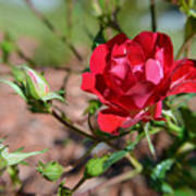 Red Rose And Buds Art Print