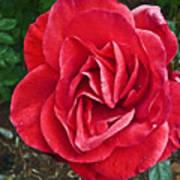 Red Rose F135 Art Print