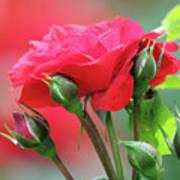 Red Rose Flower Art Print