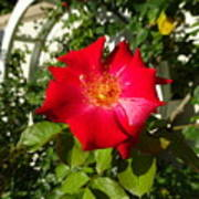 Red Rose In Summer Art Print