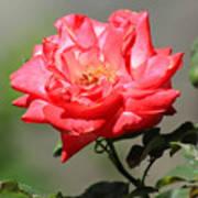 Red Rose On A Bush Art Print