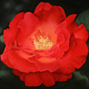 Red Rose Art Print