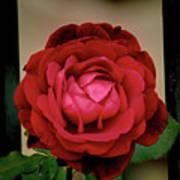 Red Rose  V2 Art Print