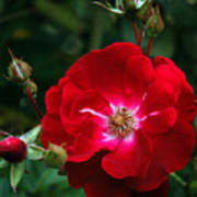 Red Rose With Buds Art Print