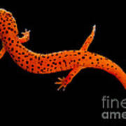 Red Salamander Art Print