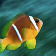 Red Sea Clownfish  Art Print