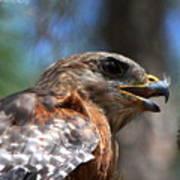 Red Shouldered Hawk - Profile Art Print