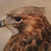 Red-shouldered Hawk Art Print