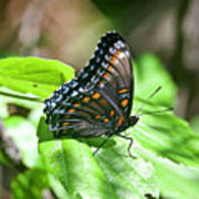 Red-spotted Purple 4172 Art Print