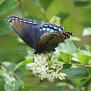 Red-spotted Purple Butterfly On Privet Flowers Art Print