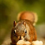 Red Squirrel   Art Print