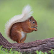 Red Squirrel Curved Log Art Print