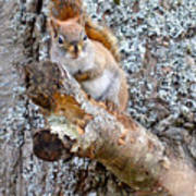 Red Squirrel Maine Art Print