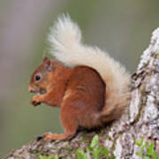 Red Squirrel On Tree Art Print