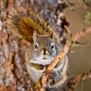 Red Squirrel Pictures 144 Art Print