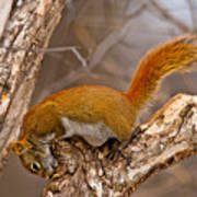 Red Squirrel Pictures 145 Art Print