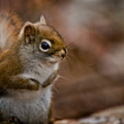 Red Squirrel Pictures 170 Art Print