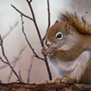 Red Squirrel - Sciurus Vulgaris Art Print