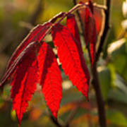 Red Sumac Leaves Art Print