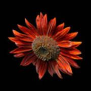 Red Sunflower On Black Art Print