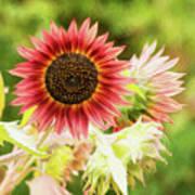 Red Sunflower, Provence, France Art Print