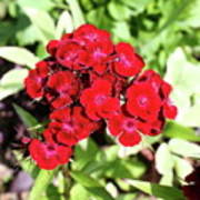 Red Sweet William Art Print