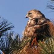 Red Tail In The Pines Art Print