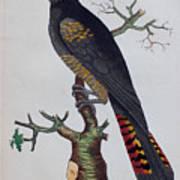 Red-tailed Black Cockatoo 1790 Art Print