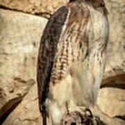 Red-tailed Hawk 4 Art Print