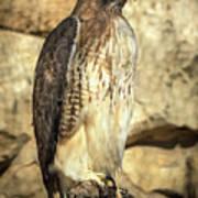 Red-tailed Hawk 5 Art Print