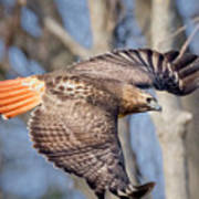 Red Tailed Hawk Flying Art Print