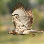 Red Tailed Hawk Hunting Art Print