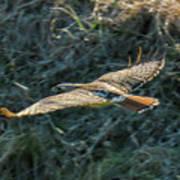 Red Tailed Hawk  In Flight Art Print