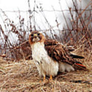 Red Tailed Hawk In The Field Art Print