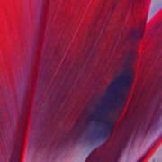 Red Ti Leaves At Last Light Art Print