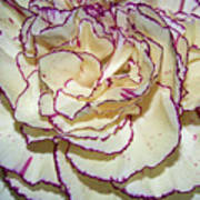 Red Tipped Carnation Art Print